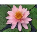 Nymphaea 'Pink Opal'