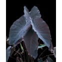 "Colocasia ""Black Magic"""