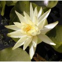Nymphaea 'Colonel Welch'