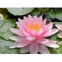 Nymphaea 'Hollandia'