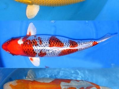 Plantes aquatiques mat riel bassin et ko s du japon for Koi japonais prix