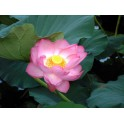 Lotus : Nelumbo nucifera (Rose simple)
