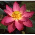 Lotus : Nelumbo nucifera (Rouge simple)